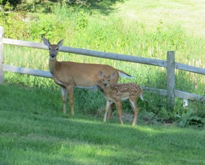 Deer and fawn in summer